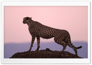 Cheetah Habitat HD Wide Wallpaper for Widescreen