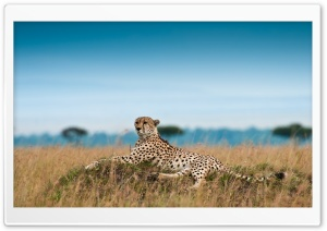Cheetah Lying Down HD Wide Wallpaper for 4K UHD Widescreen desktop & smartphone
