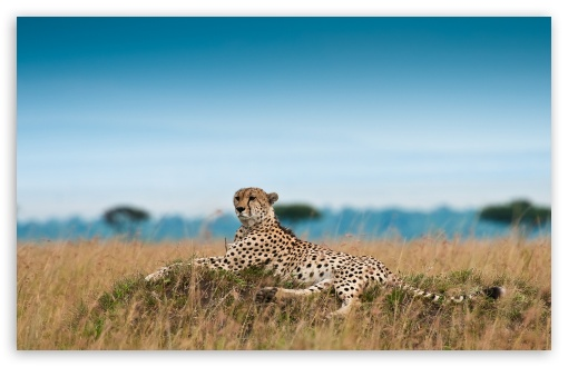 Cheetah Lying Down ❤ 4K UHD Wallpaper for Wide 16:10 5:3 Widescreen WHXGA WQXGA WUXGA WXGA WGA ; 4K UHD 16:9 Ultra High Definition 2160p 1440p 1080p 900p 720p ; Standard 4:3 5:4 3:2 Fullscreen UXGA XGA SVGA QSXGA SXGA DVGA HVGA HQVGA ( Apple PowerBook G4 iPhone 4 3G 3GS iPod Touch ) ; iPad 1/2/Mini ; Mobile 4:3 5:3 3:2 16:9 5:4 - UXGA XGA SVGA WGA DVGA HVGA HQVGA ( Apple PowerBook G4 iPhone 4 3G 3GS iPod Touch ) 2160p 1440p 1080p 900p 720p QSXGA SXGA ;