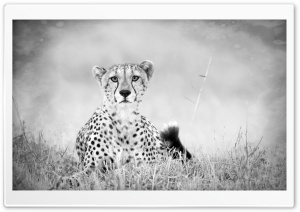 Cheetah Monochrome HD Wide Wallpaper for Widescreen