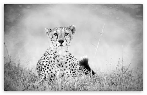Cheetah Monochrome HD wallpaper for Wide 16:10 5:3 Widescreen WHXGA WQXGA WUXGA WXGA WGA ; HD 16:9 High Definition WQHD QWXGA 1080p 900p 720p QHD nHD ; Standard 4:3 5:4 3:2 Fullscreen UXGA XGA SVGA QSXGA SXGA DVGA HVGA HQVGA devices ( Apple PowerBook G4 iPhone 4 3G 3GS iPod Touch ) ; Tablet 1:1 ; iPad 1/2/Mini ; Mobile 4:3 5:3 3:2 16:9 5:4 - UXGA XGA SVGA WGA DVGA HVGA HQVGA devices ( Apple PowerBook G4 iPhone 4 3G 3GS iPod Touch ) WQHD QWXGA 1080p 900p 720p QHD nHD QSXGA SXGA ;