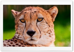 Cheetah Portrait HD Wide Wallpaper for Widescreen
