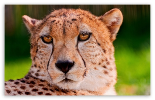 Cheetah Portrait ❤ 4K UHD Wallpaper for Wide 16:10 5:3 Widescreen WHXGA WQXGA WUXGA WXGA WGA ; 4K UHD 16:9 Ultra High Definition 2160p 1440p 1080p 900p 720p ; UHD 16:9 2160p 1440p 1080p 900p 720p ; Standard 4:3 5:4 3:2 Fullscreen UXGA XGA SVGA QSXGA SXGA DVGA HVGA HQVGA ( Apple PowerBook G4 iPhone 4 3G 3GS iPod Touch ) ; iPad 1/2/Mini ; Mobile 4:3 5:3 3:2 16:9 5:4 - UXGA XGA SVGA WGA DVGA HVGA HQVGA ( Apple PowerBook G4 iPhone 4 3G 3GS iPod Touch ) 2160p 1440p 1080p 900p 720p QSXGA SXGA ;