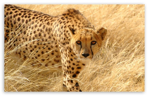 Cheetah Wildlife HD wallpaper for Wide 16:10 5:3 Widescreen WHXGA WQXGA WUXGA WXGA WGA ; HD 16:9 High Definition WQHD QWXGA 1080p 900p 720p QHD nHD ; Standard 4:3 5:4 3:2 Fullscreen UXGA XGA SVGA QSXGA SXGA DVGA HVGA HQVGA devices ( Apple PowerBook G4 iPhone 4 3G 3GS iPod Touch ) ; Tablet 1:1 ; iPad 1/2/Mini ; Mobile 4:3 5:3 3:2 5:4 - UXGA XGA SVGA WGA DVGA HVGA HQVGA devices ( Apple PowerBook G4 iPhone 4 3G 3GS iPod Touch ) QSXGA SXGA ;