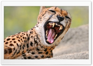 Cheetah Yawning HD Wide Wallpaper for Widescreen