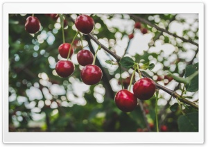 Cherries Branch HD Wide Wallpaper for Widescreen