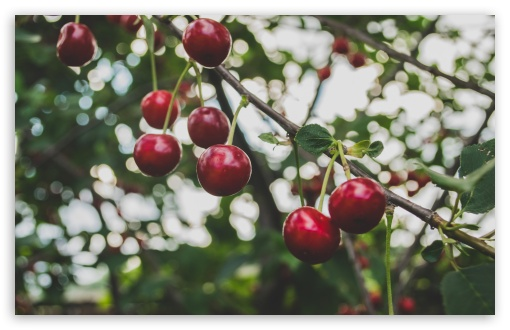 Cherries Branch HD wallpaper for Wide 16:10 5:3 Widescreen WHXGA WQXGA WUXGA WXGA WGA ; HD 16:9 High Definition WQHD QWXGA 1080p 900p 720p QHD nHD ; UHD 16:9 WQHD QWXGA 1080p 900p 720p QHD nHD ; Standard 4:3 5:4 3:2 Fullscreen UXGA XGA SVGA QSXGA SXGA DVGA HVGA HQVGA devices ( Apple PowerBook G4 iPhone 4 3G 3GS iPod Touch ) ; Smartphone 5:3 WGA ; Tablet 1:1 ; iPad 1/2/Mini ; Mobile 4:3 5:3 3:2 16:9 5:4 - UXGA XGA SVGA WGA DVGA HVGA HQVGA devices ( Apple PowerBook G4 iPhone 4 3G 3GS iPod Touch ) WQHD QWXGA 1080p 900p 720p QHD nHD QSXGA SXGA ;