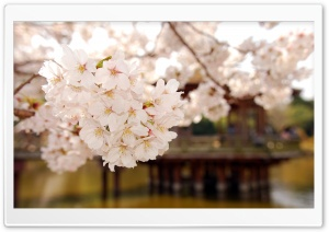 Cherry Blossom 1 HD Wide Wallpaper for Widescreen