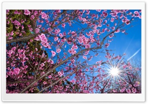 Cherry Blossom HD Wide Wallpaper for 4K UHD Widescreen desktop & smartphone