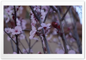 Cherry Blossom HD Wide Wallpaper for Widescreen