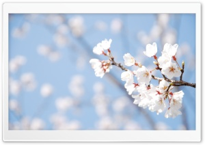 Cherry Blossom And Blue Sky HD Wide Wallpaper for Widescreen