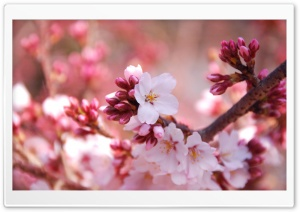Cherry Blossom Buds HD Wide Wallpaper for Widescreen