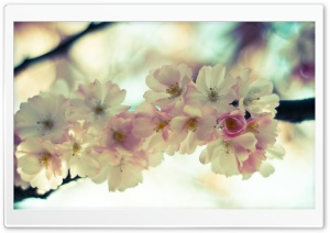 Cherry Blossom Close-Up HD Wide Wallpaper for Widescreen