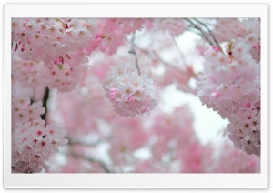Cherry Blossom Depth of Field HD Wide Wallpaper for Widescreen