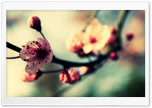 Cherry Blossom In Spring HD Wide Wallpaper for Widescreen