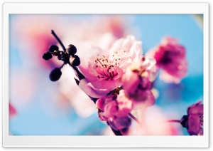 Cherry Blossom Macro HD Wide Wallpaper for Widescreen