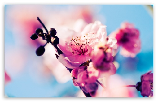 Cherry Blossom Macro HD wallpaper for Wide 16:10 5:3 Widescreen WHXGA WQXGA WUXGA WXGA WGA ; HD 16:9 High Definition WQHD QWXGA 1080p 900p 720p QHD nHD ; Standard 4:3 5:4 3:2 Fullscreen UXGA XGA SVGA QSXGA SXGA DVGA HVGA HQVGA devices ( Apple PowerBook G4 iPhone 4 3G 3GS iPod Touch ) ; Tablet 1:1 ; iPad 1/2/Mini ; Mobile 4:3 5:3 3:2 16:9 5:4 - UXGA XGA SVGA WGA DVGA HVGA HQVGA devices ( Apple PowerBook G4 iPhone 4 3G 3GS iPod Touch ) WQHD QWXGA 1080p 900p 720p QHD nHD QSXGA SXGA ; Dual 16:10 5:3 16:9 4:3 5:4 WHXGA WQXGA WUXGA WXGA WGA WQHD QWXGA 1080p 900p 720p QHD nHD UXGA XGA SVGA QSXGA SXGA ;