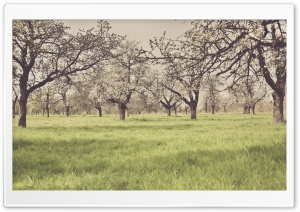 Cherry Blossom Orchard Vintage HD Wide Wallpaper for Widescreen