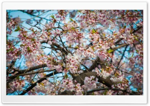 Cherry Blossom Seoul HD Wide Wallpaper for Widescreen