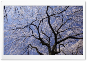 Cherry Blossom Tree HD Wide Wallpaper for 4K UHD Widescreen desktop & smartphone