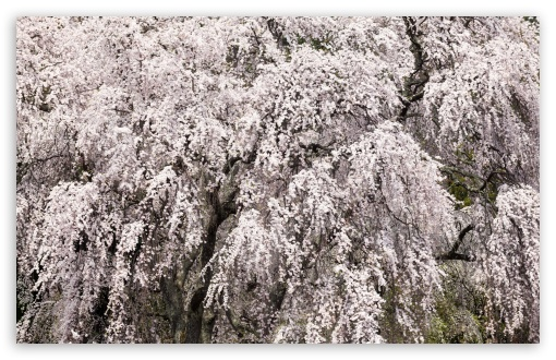 Cherry Blossom Tree Japan ❤ 4K UHD Wallpaper for Wide 16:10 5:3 Widescreen WHXGA WQXGA WUXGA WXGA WGA ; UltraWide 21:9 24:10 ; 4K UHD 16:9 Ultra High Definition 2160p 1440p 1080p 900p 720p ; UHD 16:9 2160p 1440p 1080p 900p 720p ; Standard 4:3 5:4 3:2 Fullscreen UXGA XGA SVGA QSXGA SXGA DVGA HVGA HQVGA ( Apple PowerBook G4 iPhone 4 3G 3GS iPod Touch ) ; Smartphone 16:9 3:2 5:3 2160p 1440p 1080p 900p 720p DVGA HVGA HQVGA ( Apple PowerBook G4 iPhone 4 3G 3GS iPod Touch ) WGA ; Tablet 1:1 ; iPad 1/2/Mini ; Mobile 4:3 5:3 3:2 16:9 5:4 - UXGA XGA SVGA WGA DVGA HVGA HQVGA ( Apple PowerBook G4 iPhone 4 3G 3GS iPod Touch ) 2160p 1440p 1080p 900p 720p QSXGA SXGA ; Dual 16:10 5:3 16:9 4:3 5:4 3:2 WHXGA WQXGA WUXGA WXGA WGA 2160p 1440p 1080p 900p 720p UXGA XGA SVGA QSXGA SXGA DVGA HVGA HQVGA ( Apple PowerBook G4 iPhone 4 3G 3GS iPod Touch ) ;