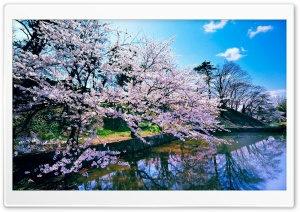 Cherry Blossom Trees HD Wide Wallpaper for 4K UHD Widescreen desktop & smartphone