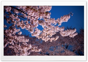 Cherry Blossom Trees HD Wide Wallpaper for Widescreen
