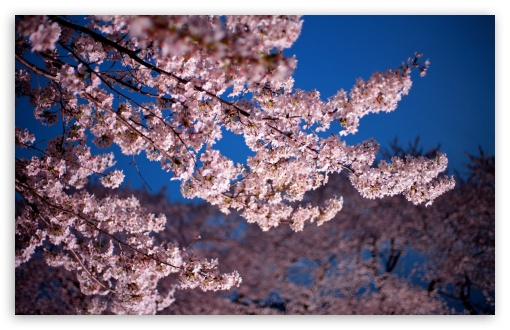 Cherry Blossom Trees ❤ 4K UHD Wallpaper for Wide 16:10 5:3 Widescreen WHXGA WQXGA WUXGA WXGA WGA ; 4K UHD 16:9 Ultra High Definition 2160p 1440p 1080p 900p 720p ; UHD 16:9 2160p 1440p 1080p 900p 720p ; Standard 4:3 5:4 3:2 Fullscreen UXGA XGA SVGA QSXGA SXGA DVGA HVGA HQVGA ( Apple PowerBook G4 iPhone 4 3G 3GS iPod Touch ) ; Smartphone 5:3 WGA ; Tablet 1:1 ; iPad 1/2/Mini ; Mobile 4:3 5:3 3:2 16:9 5:4 - UXGA XGA SVGA WGA DVGA HVGA HQVGA ( Apple PowerBook G4 iPhone 4 3G 3GS iPod Touch ) 2160p 1440p 1080p 900p 720p QSXGA SXGA ;
