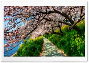 Cherry Blossom Tunnel HD Wide Wallpaper for Widescreen