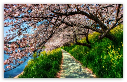 Cherry Blossom Tunnel HD wallpaper for Standard 4:3 5:4 Fullscreen UXGA XGA SVGA QSXGA SXGA ; Wide 16:10 5:3 Widescreen WHXGA WQXGA WUXGA WXGA WGA ; HD 16:9 High Definition WQHD QWXGA 1080p 900p 720p QHD nHD ; Other 3:2 DVGA HVGA HQVGA devices ( Apple PowerBook G4 iPhone 4 3G 3GS iPod Touch ) ; Mobile VGA WVGA iPhone iPad PSP Phone - VGA QVGA Smartphone ( PocketPC GPS iPod Zune BlackBerry HTC Samsung LG Nokia Eten Asus ) WVGA WQVGA Smartphone ( HTC Samsung Sony Ericsson LG Vertu MIO ) HVGA Smartphone ( Apple iPhone iPod BlackBerry HTC Samsung Nokia ) Sony PSP Zune HD Zen ; Tablet 2 Android 3 DVGA HVGA HQVGA devices ( Apple PowerBook G4 iPhone 4 3G 3GS iPod Touch ) ; Dual 4:3 5:4 16:10 5:3 16:9 UXGA XGA SVGA QSXGA SXGA WHXGA WQXGA WUXGA WXGA WGA WQHD QWXGA 1080p 900p 720p QHD nHD ;