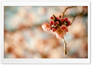 Cherry Blossoms HD Wide Wallpaper for Widescreen