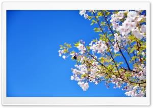 Cherry Blossoms Ultra HD Wallpaper for 4K UHD Widescreen desktop, tablet & smartphone