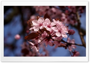 Cherry Blossoms Ultra HD Wallpaper for 4K UHD Widescreen desktop, tablet & smartphone