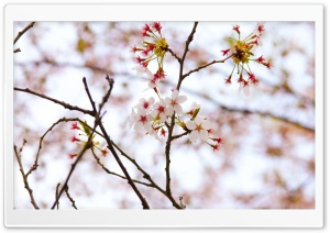 Cherry Blossoms At High Park HD Wide Wallpaper for Widescreen
