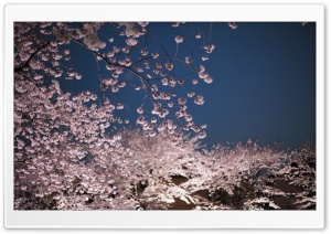 Cherry Blossoms Night HD Wide Wallpaper for Widescreen