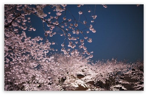 Cherry Blossoms Night ❤ 4K UHD Wallpaper for Wide 16:10 5:3 Widescreen WHXGA WQXGA WUXGA WXGA WGA ; 4K UHD 16:9 Ultra High Definition 2160p 1440p 1080p 900p 720p ; UHD 16:9 2160p 1440p 1080p 900p 720p ; Standard 4:3 5:4 3:2 Fullscreen UXGA XGA SVGA QSXGA SXGA DVGA HVGA HQVGA ( Apple PowerBook G4 iPhone 4 3G 3GS iPod Touch ) ; Smartphone 5:3 WGA ; Tablet 1:1 ; iPad 1/2/Mini ; Mobile 4:3 5:3 3:2 16:9 5:4 - UXGA XGA SVGA WGA DVGA HVGA HQVGA ( Apple PowerBook G4 iPhone 4 3G 3GS iPod Touch ) 2160p 1440p 1080p 900p 720p QSXGA SXGA ;