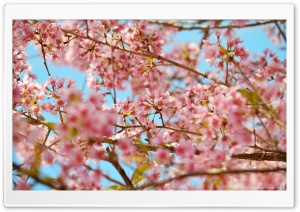 Cherry Blossons HD Wide Wallpaper for Widescreen