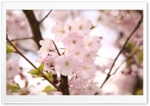 Cherry Branches HD Wide Wallpaper for Widescreen