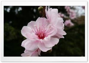 Cherry Flowers Ultra HD Wallpaper for 4K UHD Widescreen desktop, tablet & smartphone