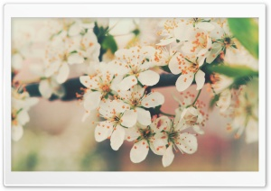 Cherry Flowers HD Wide Wallpaper for Widescreen