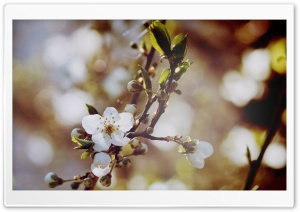 Cherry Flowers And Buds HD Wide Wallpaper for Widescreen