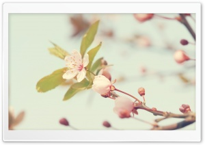 Cherry Flowers Buds HD Wide Wallpaper for Widescreen