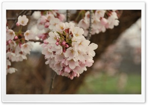 Cherry Flowers Bundle HD Wide Wallpaper for Widescreen