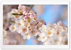 Cherry Flowers Bundle Spring HD Wide Wallpaper for Widescreen