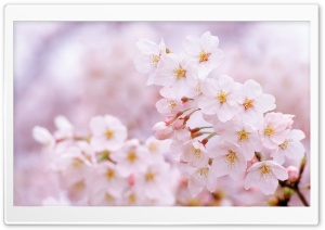 Cherry Flowers Cloe Up HD Wide Wallpaper for Widescreen