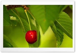 Cherry Fruit Tree HD Wide Wallpaper for Widescreen