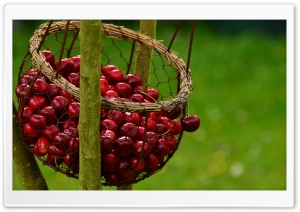 Cherry Picking Ultra HD Wallpaper for 4K UHD Widescreen desktop, tablet & smartphone