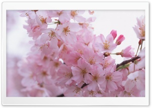 Cherry Pink Flowers HD Wide Wallpaper for Widescreen