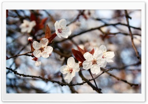 Cherry Plum Flowers Spring HD Wide Wallpaper for Widescreen