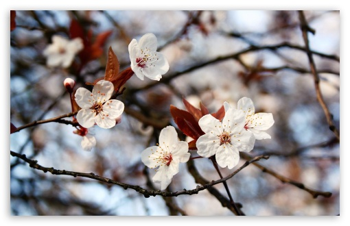 Cherry Plum Flowers Spring ❤ 4K UHD Wallpaper for Wide 16:10 5:3 Widescreen WHXGA WQXGA WUXGA WXGA WGA ; 4K UHD 16:9 Ultra High Definition 2160p 1440p 1080p 900p 720p ; Standard 4:3 5:4 3:2 Fullscreen UXGA XGA SVGA QSXGA SXGA DVGA HVGA HQVGA ( Apple PowerBook G4 iPhone 4 3G 3GS iPod Touch ) ; Tablet 1:1 ; iPad 1/2/Mini ; Mobile 4:3 5:3 3:2 16:9 5:4 - UXGA XGA SVGA WGA DVGA HVGA HQVGA ( Apple PowerBook G4 iPhone 4 3G 3GS iPod Touch ) 2160p 1440p 1080p 900p 720p QSXGA SXGA ;